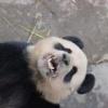 Панды из одного китайского зоопарка отличились длительностью времени спаривания (5 фото)